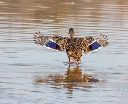dancing_duck_blog