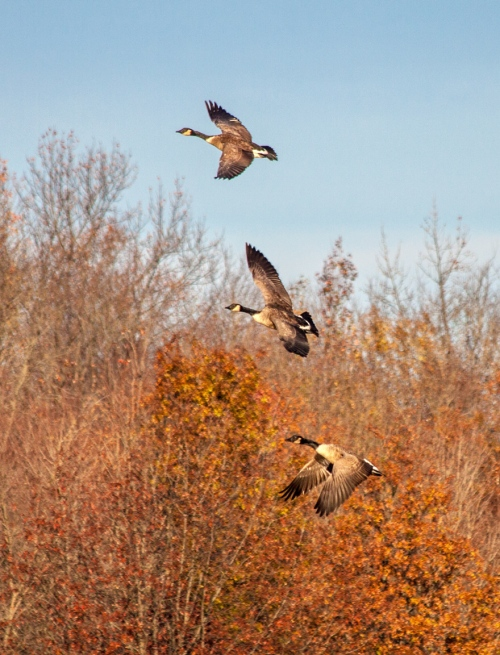 geese_flying_cropped_blog