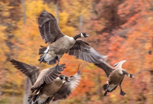 geese_landing_fall_blog