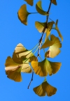 Ginkgo leaves and sky