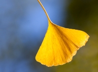 Single gingko leaf (yin and yang)