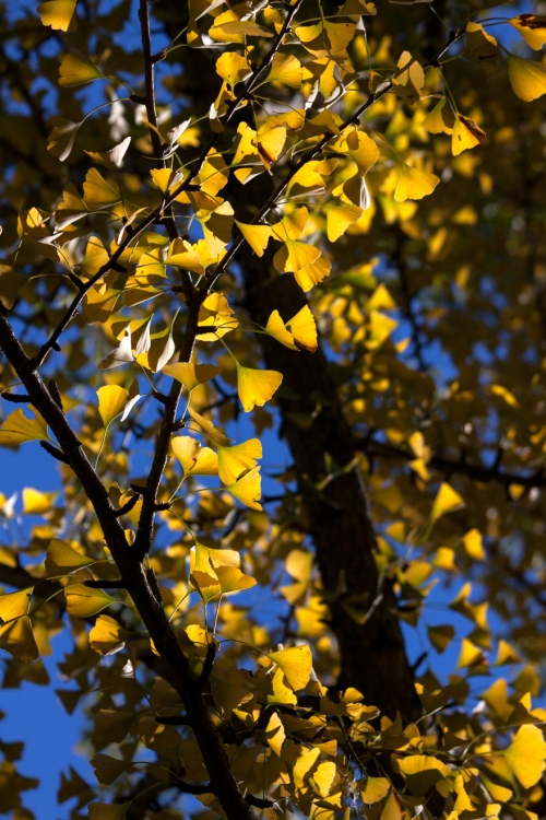 ginkgo_butterflies_blog