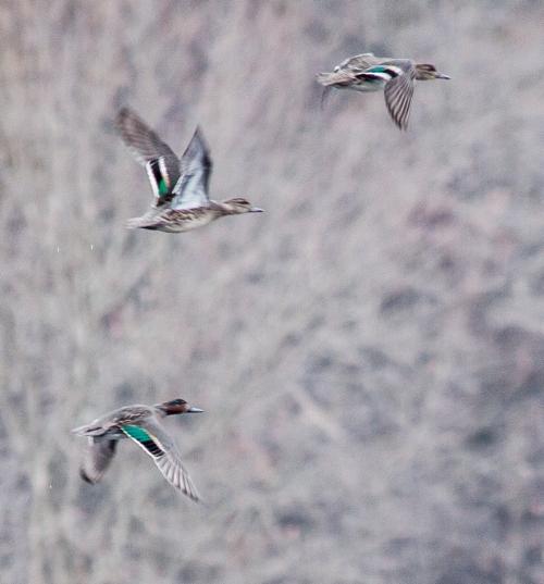 green_and_blue_ducks_B_blog