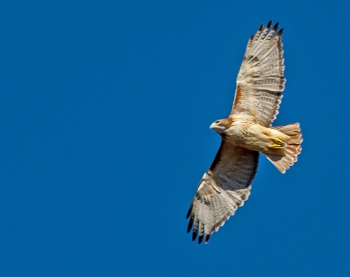 hawk1_soaring_blog