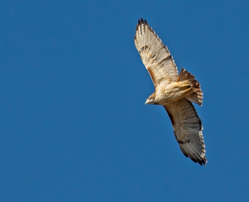 hawk2_soaring_blog