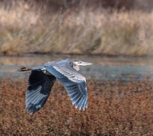 heron_marsh2_blog