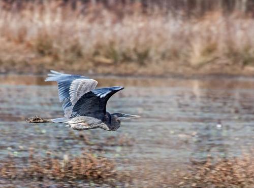 heron_marsh_blog