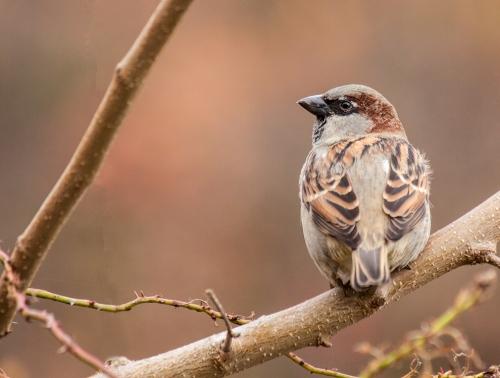 house_sparrow_autumn_blog