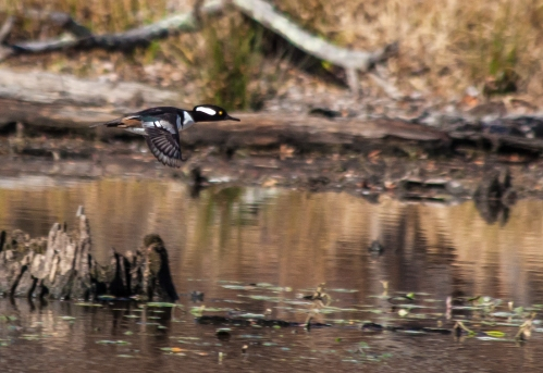 merganser_flying_blog