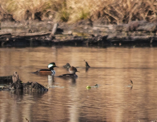 mergansers_swimming_blog