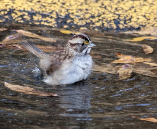 Sparrow_puddle_cropped_blog
