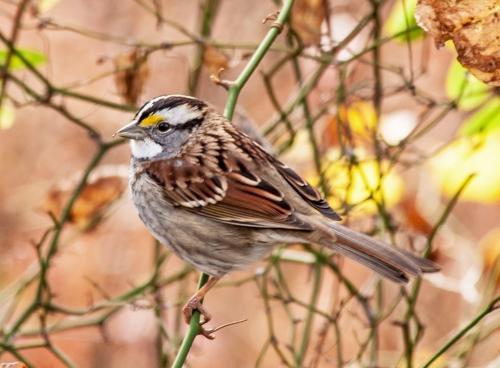 sparrow_white_throat_crop_blog