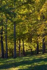 Ginkgo grove vertical