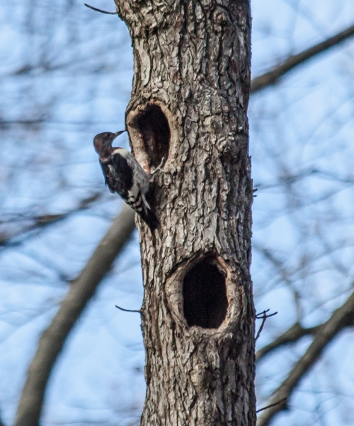woodpecker_cavity_blog