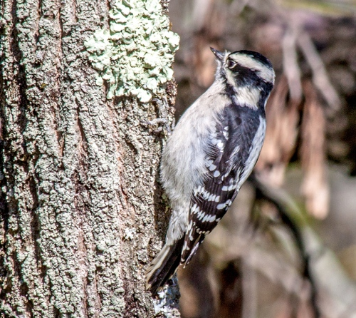 woodpecker_downy_blog