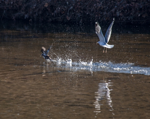 gull_chasing_duck1_blog