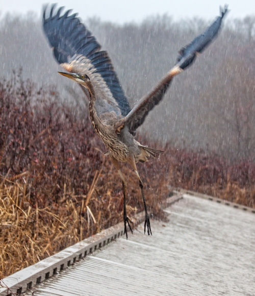 heron_liftoff_rain_blog