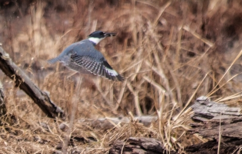 kingfisher1_dec_blog