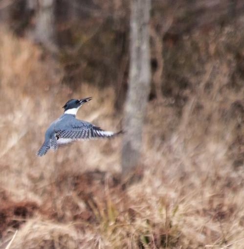 kingfisher2_dec_blog