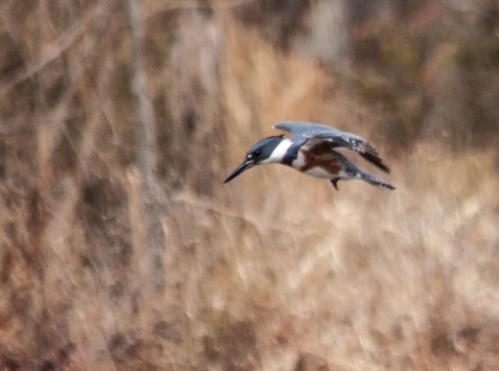 kingfisher4_dec_blog