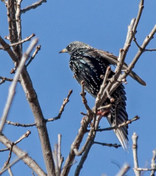 starling2_blog