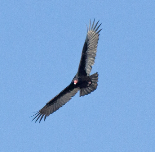 turkey_vulture3_blog