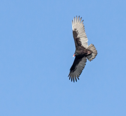 turkey_vulture4_blog