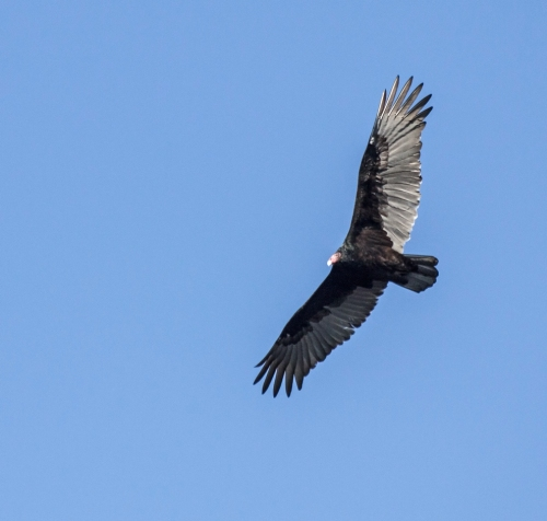 turkey_vulture5_blog