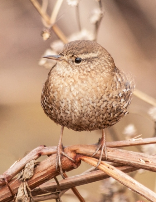 winter_wren1_blog