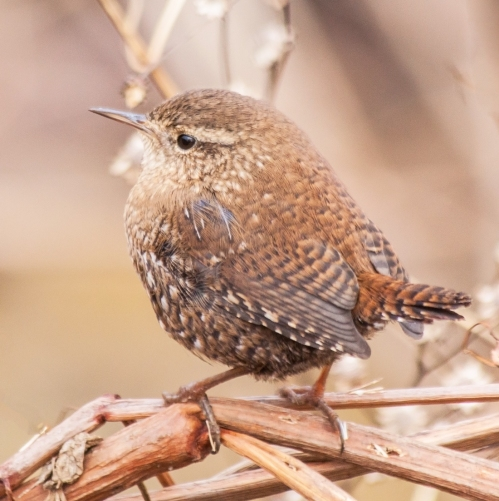 winter_wren2_blog