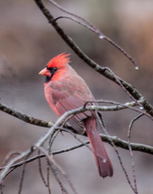 cardinal_rainy_blog