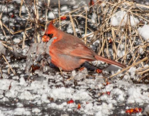 cardinal_snow_blog