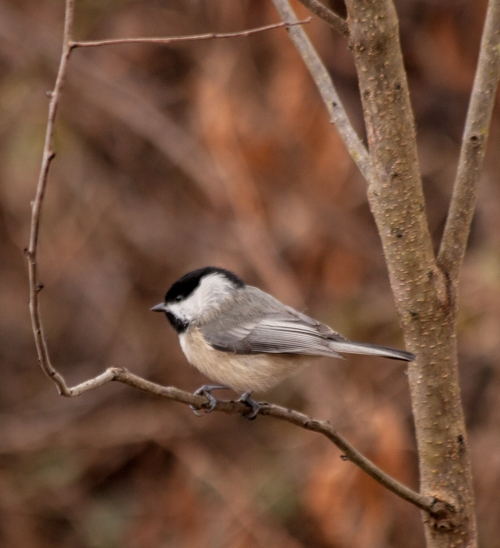 chickadee2_little_blog