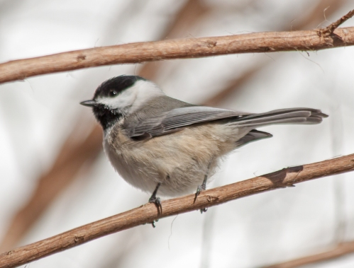 chickadee_winter_blog