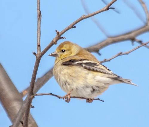 goldfinch1_blog