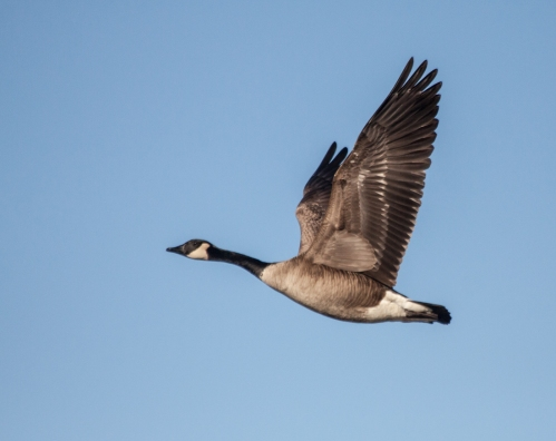 goose_flight1_blog