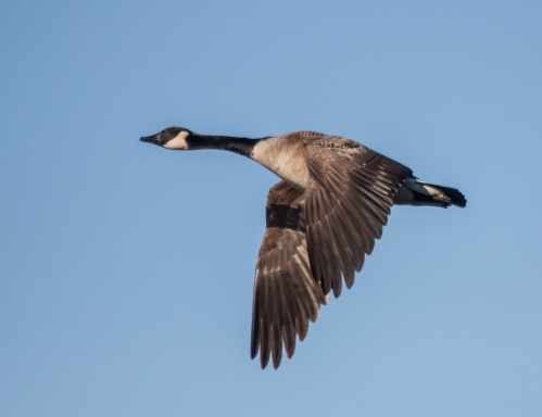 goose_flight2_blog