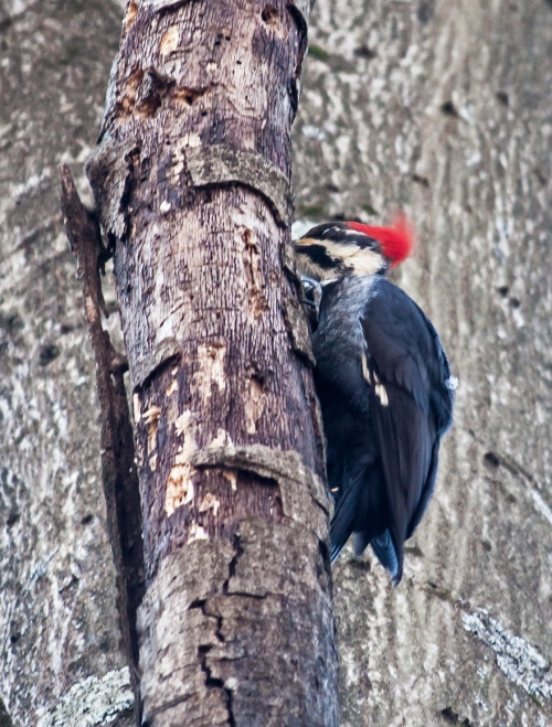 pileated1_jan_blog