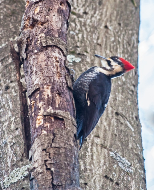 pileated2_jan_blog