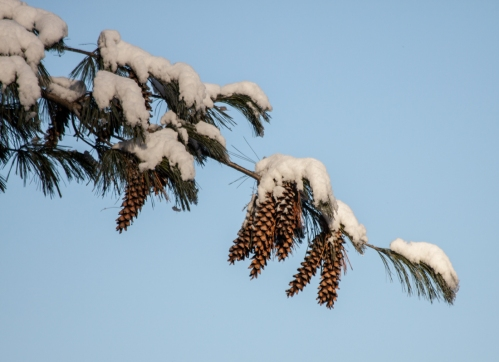 pinecones_blog
