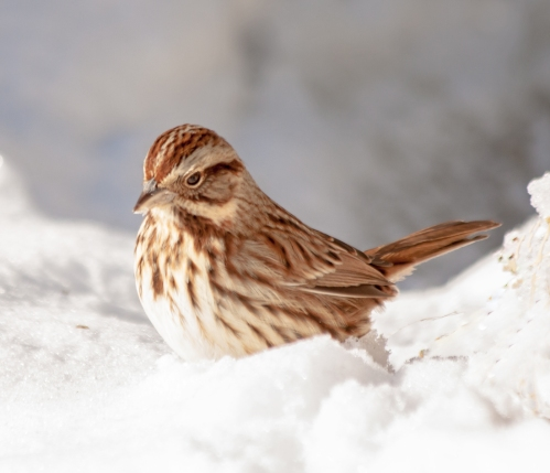 sparrow_snow2_blog