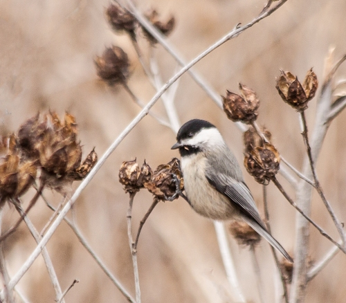 chickadee_feeding_blog