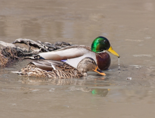 duck_couple_blog