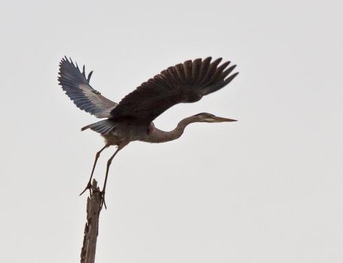 heron_takeoff1_blog