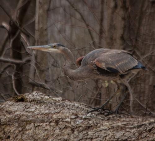 heron_trunk_blog