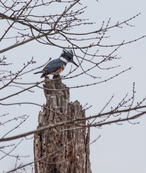 kingfisher_early_blog