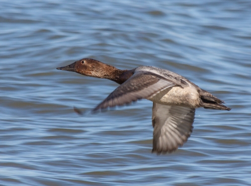canvasback_flight2_blog