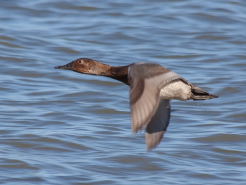 canvasback_flight_blog