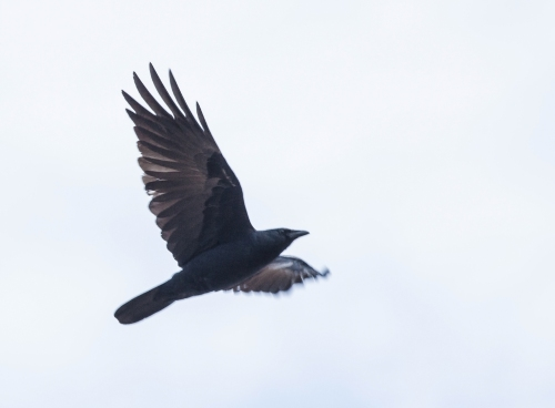 crow_flying_blog