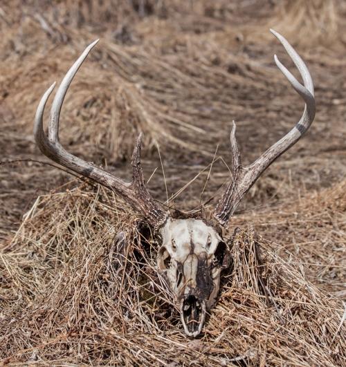 deer_skull1_blog
